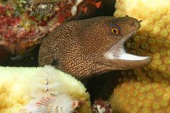 Goldentail Moray (Gymnothorax miliaris) - Bonaire Stock Images
