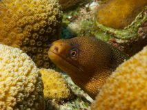 Goldentail Moray Stock Images
