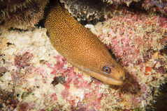 Goldentail moray paling Royalty-vrije Stock Afbeeldingen
