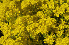 Goldentuft Alyssum flowers Royalty Free Stock Photo