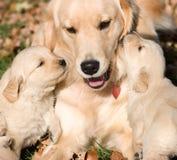 Golder Apportierhundwelpen mit Mutter Lizenzfreies Stockfoto