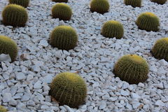 Golder barrel cacti. Cacti, with the common name Golden Barrel Cactus or Golden Ball Cactus (species name: Echinocactus grusonii royalty free stock photography