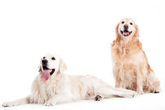 2 golder retriever dogs. Happy dog photographed in the studio on a white background stock image