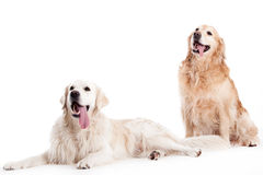 2 golder retriever dogs on white. Happy dog photographed in the studio on a white background stock photo