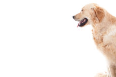 Golder retriever looks into the white. Happy dog photographed in the studio on a white background stock photos