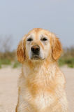 Golder retriever portrait Royalty Free Stock Image