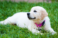 Golder retriever puppy girl resting on grass Royalty Free Stock Photos