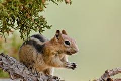 Goldern a enveloppé l'écureuil au sol Photographie stock libre de droits