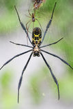 Goldern orb web spider. Very detailed shot of a large golden orb web spider with male approaching the larger female stock images