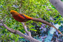 Goldern pheasant in Loro Parque, Tenerife, Canary Islands. Stock Photos