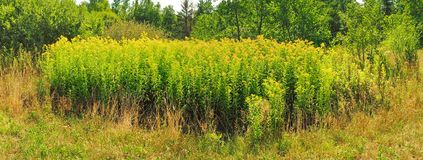 Goldern Rod Field - Gezonde Voeding royalty-vrije stock foto