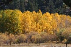 Goldespen mit immergrünen Bäumen Lizenzfreie Stockfotos
