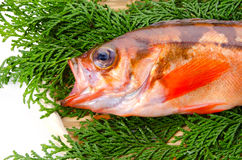 Goldeye rockfish Stock Photo