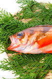 Goldeye rockfish Stock Images