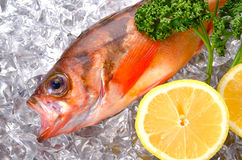 Goldeye rockfish Royalty Free Stock Photography