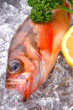 Goldeye rockfish Stock Photography
