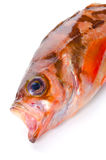 Goldeye rockfish Royalty Free Stock Image