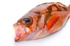 Goldeye rockfish Stock Image