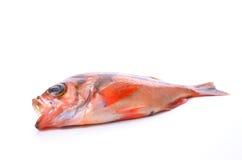 Goldeye rockfish Stock Images