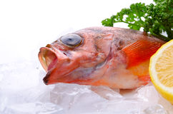Goldeye rockfish Stock Photos