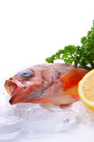 Goldeye rockfish Royalty Free Stock Images