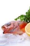Goldeye rockfish Royalty Free Stock Images