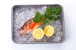Goldeye rockfish Royalty Free Stock Photo