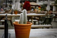 Goldfarbiger Kaktus Coleocephalocereus Stockfotografie