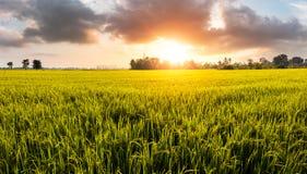 Goldfeld und goldene Stunde mit netter Wolke lizenzfreie stockfotografie