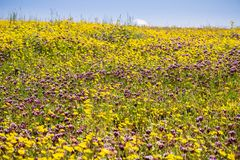 Goldfields (Lasthenia) and Whitetip clover (Trifolium variegatum) blooming on the fields of North Table Mountain Ecological. Reserve, Oroville, California stock image