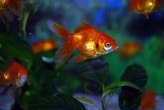 Goldfih Stock Photography