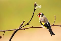 goldfinch Ένα όμορφο και ενοχλημένο πουλί στοκ φωτογραφία με δικαίωμα ελεύθερης χρήσης
