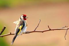 goldfinch Ένα όμορφο και ενοχλημένο πουλί στοκ φωτογραφίες