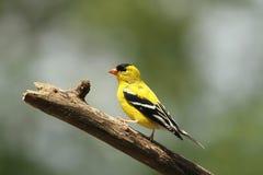 goldfinch αρσενικό Στοκ φωτογραφία με δικαίωμα ελεύθερης χρήσης