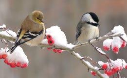 Goldfinch και Chickadee Στοκ Εικόνα