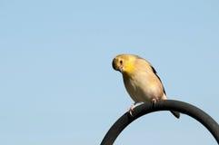 goldfinch κοιτάζοντας στοκ φωτογραφία