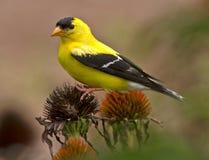 Goldfinch που σκαρφαλώνει σε Coneflower Στοκ Φωτογραφίες