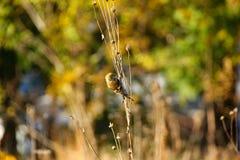 Goldfinch σε έναν κλαδίσκο δέντρων Στοκ φωτογραφίες με δικαίωμα ελεύθερης χρήσης