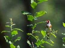 Goldfinch στον κλάδο στο δέντρο Στοκ Φωτογραφία