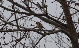Goldfinch στο δέντρο - UK στοκ εικόνες