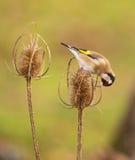 Goldfinch στο ξηρό φυτό κάρδων Στοκ φωτογραφίες με δικαίωμα ελεύθερης χρήσης