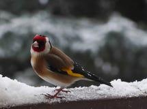Goldfinch в снеге стоковые изображения rf