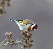 Goldfinch есть bur Стоковые Изображения