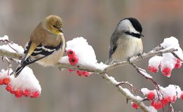 Goldfinch и Chickadee стоковое изображение