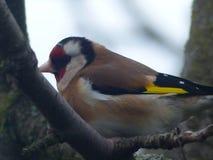 goldfinch стоковые фотографии rf