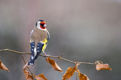 Goldfinch на ветви дерева бука стоковая фотография rf