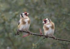 Goldfinch 2 на ветви Стоковое Фото