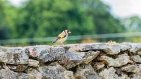 Goldfinch на стене стоковое изображение rf