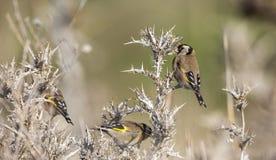 Goldfinch на thistle Стоковая Фотография RF
