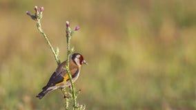 Goldfinch на thistle Стоковое Изображение RF